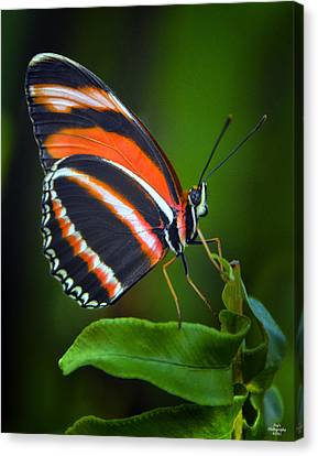 Banded Orange Longwing Butterfly Canvas Print