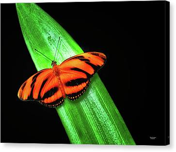 Banded Orange Longwing Canvas Print