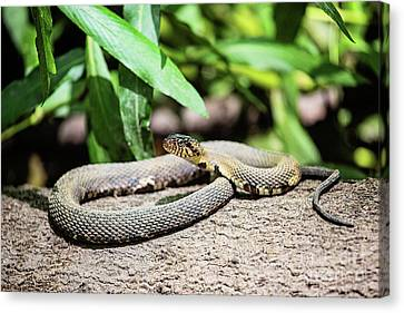 Banded Water Snake - Louisiana Canvas Print by Scott Pellegrin