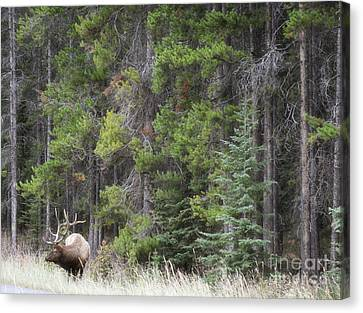 Banff Canada Elk Woodland Landscape Canvas Print by Andrea Hazel Ihlefeld