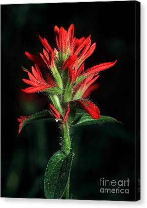 Banff - Indian Paintbrush 4 Canvas Print