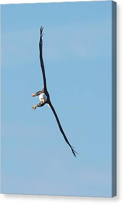 Banking Bald Eagle Canvas Print by Paul Freidlund