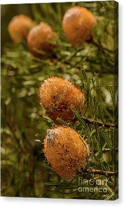 Canvas Print featuring the photograph Banksia by Werner Padarin