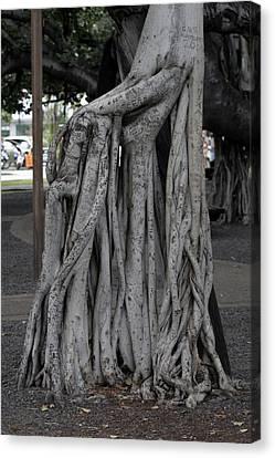 Banyan Tree, Maui Canvas Print