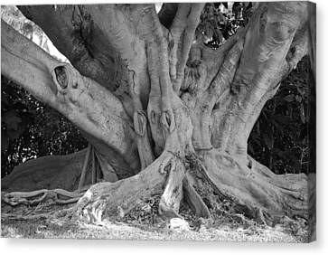 Banyan Tree Canvas Print by Rob Hans