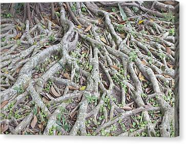 Banyan Tree Roots Canvas Print by Roberto Morgenthaler