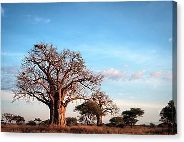 Baobab Evening Canvas Print