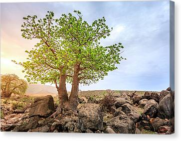 Canvas Print featuring the photograph Baobab Tree by Alexey Stiop