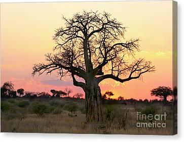 Baobab Tree At Sunset  Canvas Print