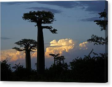 Baobabs And Storm Clouds Canvas Print