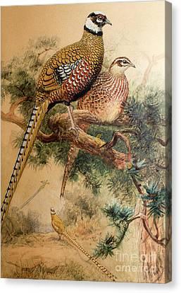 Bar-tailed Pheasant Canvas Print by Joseph Wolf