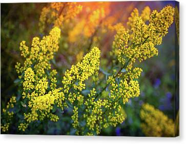 Barbarea Vulgaris - Yellow Rocket  Garden Flower Canvas Print by Jennifer Rondinelli Reilly - Fine Art Photography