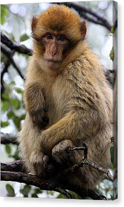 Canvas Print featuring the photograph Barbary Ape by Ramona Johnston