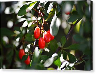 Barberries Canvas Print
