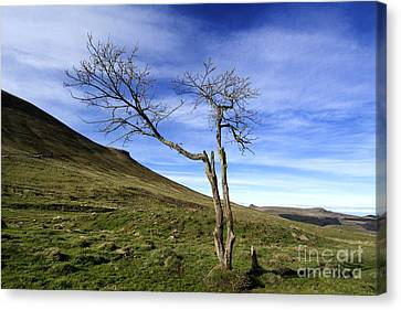 Bare Tree In The Mountain. Auvergne. France Canvas Print