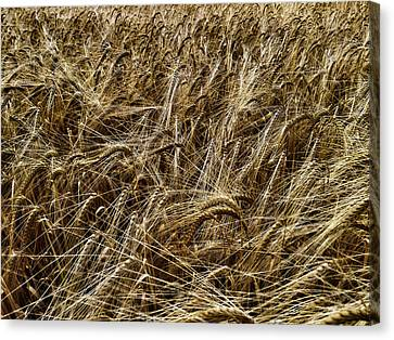 Canvas Print featuring the photograph Barley by RKAB Works