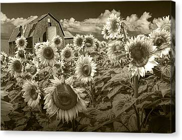 Barn And Sunflowers In Sepia Tone Canvas Print by Randall Nyhof