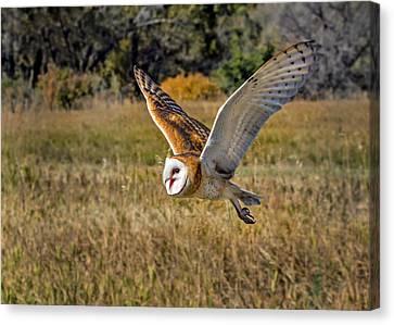 Barn Owl Flight 6 Canvas Print