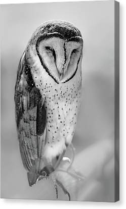 Barn Owl II Canvas Print