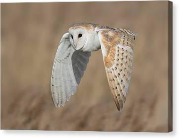 Barn Owl In Flight Canvas Print by Ian Hufton