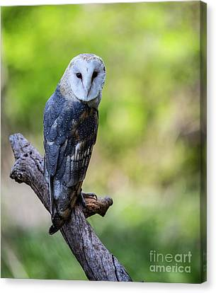 Barn Owl Looking Over It's Shoulder Canvas Print by CJ Park