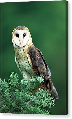 New Individuals Canvas Print - Barn Owl Tyto Alba Portrait, Hudson by Tom Vezo