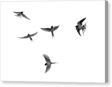 Barn Swallow Acrobatics In The Sky Canvas Print by Dan Friend
