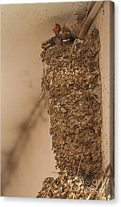 Barn Swallow Nest Canvas Print by Neil Bowman/FLPA