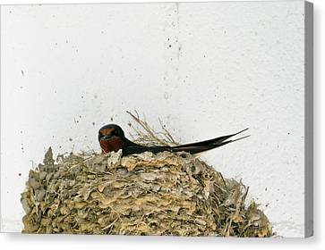Barn Swallow Nesting Canvas Print by Douglas Barnett