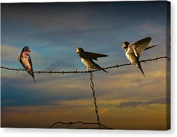 Barn Swallows On Barbwire Fence Canvas Print