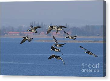 Barnacle Geese, Denmark Canvas Print by Steen Drozd Lund