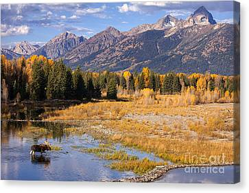 Bull In The Beaver Ponds Canvas Print by Aaron Whittemore