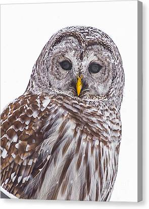 Barred Owl Canvas Print by Benjamin Williamson