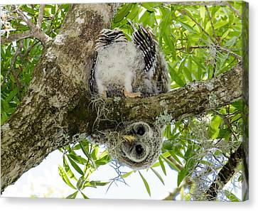 Canvas Print featuring the photograph Barred Owlet Contortionist by Phil Stone