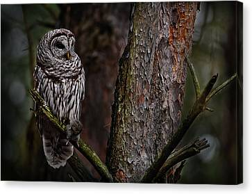 Canvas Print featuring the photograph Barred Owl In Pine Tree by Michael Cummings