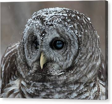 Barred Owl In The Snow Canvas Print by Emma England