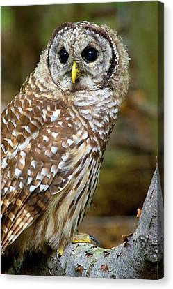 Barred Owl Juvie Canvas Print by Timothy McIntyre