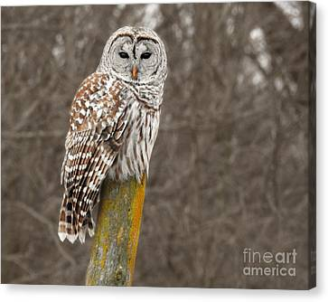 Barred Owl Canvas Print by Kathy M Krause