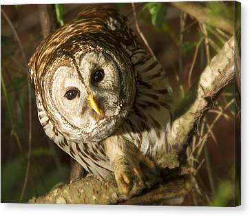 Barred Owl Peering Canvas Print by Jean Noren