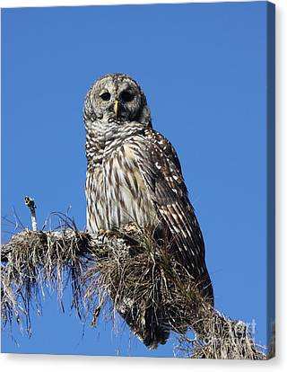 Barred Owl Portrait Canvas Print