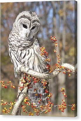 Barred Owl Portrait Canvas Print by Cindy Lindow