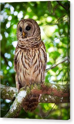 Barred Owl Canvas Print by Rich Leighton