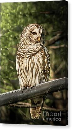Cabin Window Canvas Print - Barred Owl by Robert Frederick