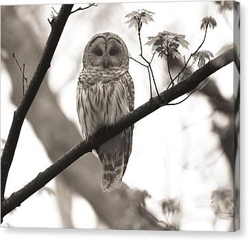 Barred Owl Sepia Canvas Print by Dan Sproul