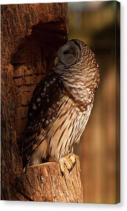 Barred Owl Sleeping In A Tree Canvas Print by Chris Flees