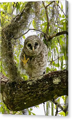Barred Owlet High Four Canvas Print