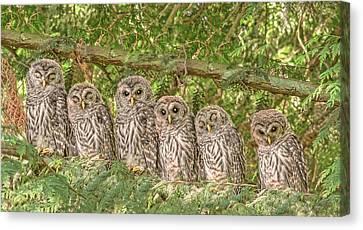 Baby Bird Canvas Print - Barred Owlets Nursery by Jennie Marie Schell