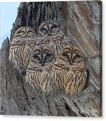 Barred Owls Who Are You Canvas Print by Betsy Knapp