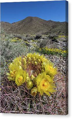 Canvas Print featuring the photograph Barrel Cactus Super Bloom by Peter Tellone