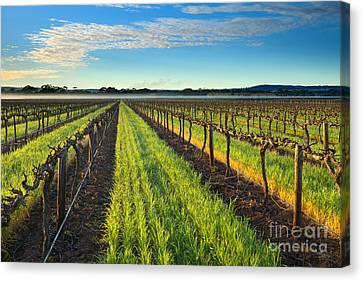 Barrossa Vineyard Sunrise Canvas Print by Mike Dawson